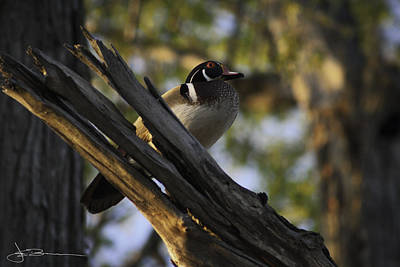 Photograph - Wood Duck Morning by Jim Bunstock
