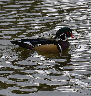 Photograph - Wood Duck On Water by Lawrence Christopher