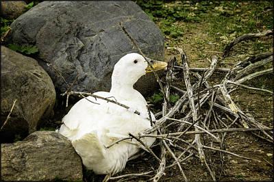 Photograph - Wood Duck Or Duck In The Wood Pile by LeeAnn McLaneGoetz McLaneGoetzStudioLLCcom