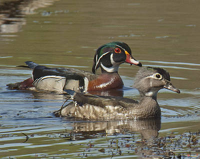 Photograph - Wood Duck Pair Dwf088 by Gerry Gantt