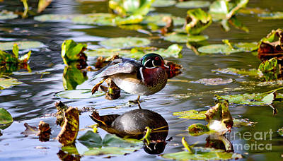 Photograph - Wood Duck Stretching On One Leg by Terry Elniski