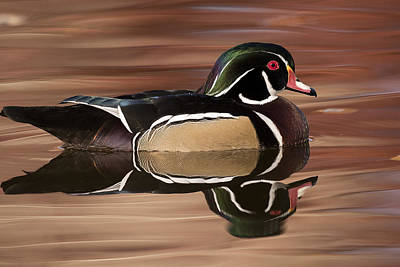 Wood Duck Profile Photograph - Wood Duck Swimming In Fall Reflection -02 by Joe Maskasky