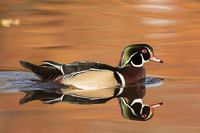 Wood Duck Profile Photograph - Wood Duck Swimming In Fall Reflection by Joe Maskasky