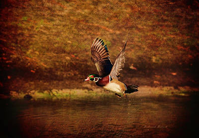 Wood Duck Taking Off Art Print by Deborah Benoit