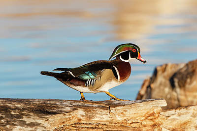 Wood Duck Photograph - Wood Ducks (aix Sponsa by Larry Ditto