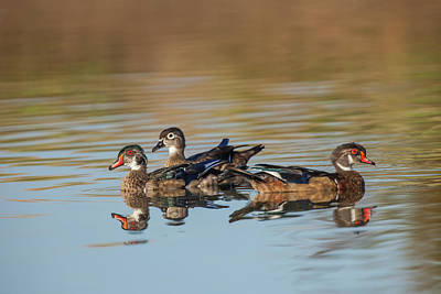 Wood Duck Photograph - Wood Ducks And Divergent Directions by Michael Qualls