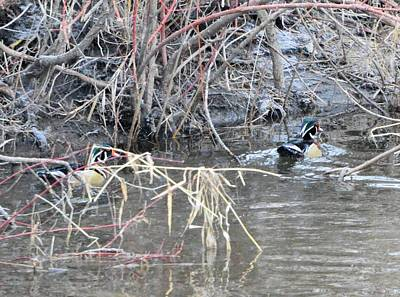Photograph - Wood Ducks by Bonfire Photography