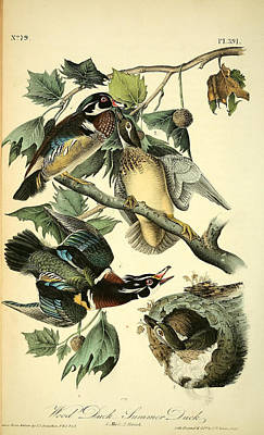 Wood Duck Painting - Wood Ducks by Philip Ralley