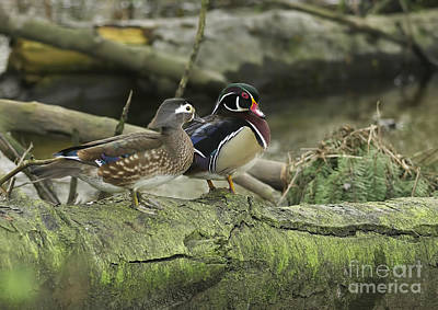 Wood Ducks On Log 4 Art Print by Sharon Talson