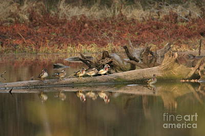 Photograph - Wood Ducks On Log by Russell Christie