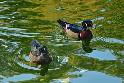 Photograph - Wood Ducks by Ricardo J Ruiz de Porras