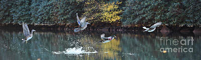 Photograph - Wood Ducks Taking Off In Flight by Dan Friend