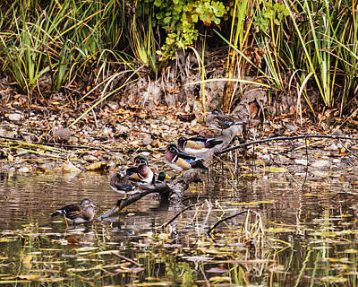 Birds Living In Nature Photograph - Wood Ducks by Vishwanath Bhat