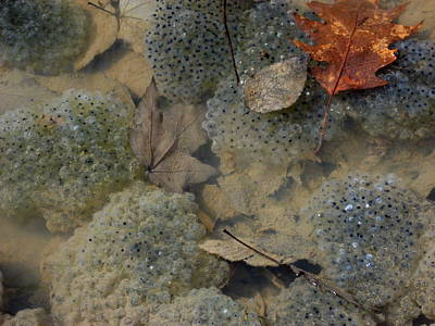 Photograph - Wood Frog Eggs by David Olson