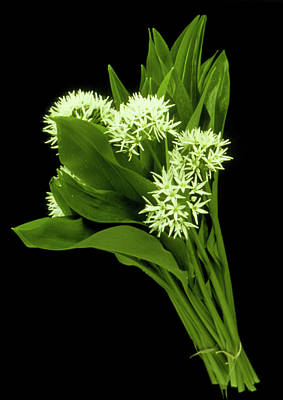 Wood Garlic Plants Art Print by Th Foto-werbung/science Photo Library