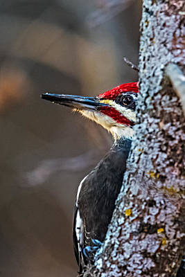 Pileated Woodpecker Photograph - Wood Peeking Pecker by Paul Freidlund