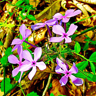 Wood Phlox Along Rocky Spring Trail On  Natchez Trace Parkway-alabama  Art Print by Ruth Hager