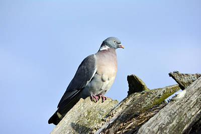 Rooftops Mixed Media - Wood Pigeon by Tommytechno Sweden