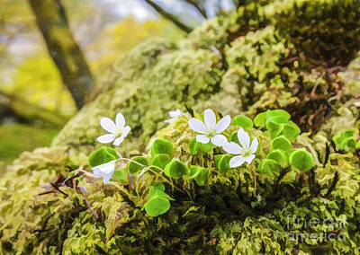 Europe Digital Art - Wood Sorrel Oxalis Acetosella by Liz Leyden