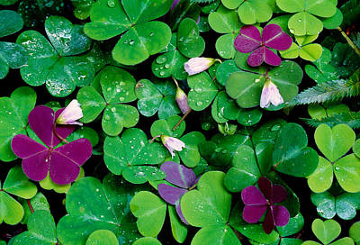 Sorrel Photograph - Wood Sorrel Plants Oxalis Oregana by Panoramic Images