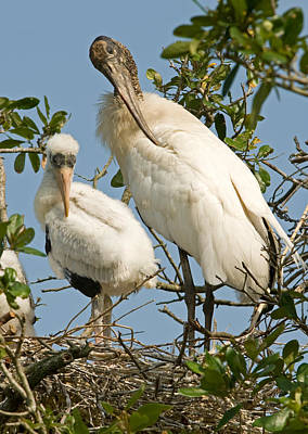 Photograph - Wood Stork Adult With Young, Preening by Millard H. Sharp