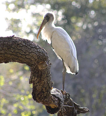 Photograph - Wood Stork At Magnolia Cemetery    Tery by Jeanne Kay Juhos