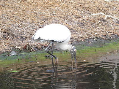 Photograph - Wood Stork Eating by Ellen Meakin
