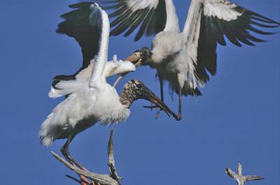 Photograph - Wood Stork Fight by Bradford Martin