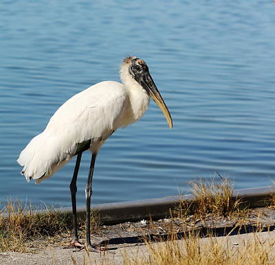 Photograph - Wood Stork by Katherine White