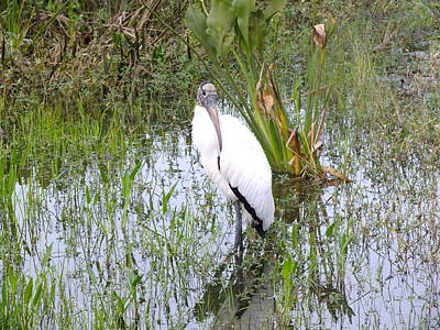 Photograph - Wood Stork by Peggy King