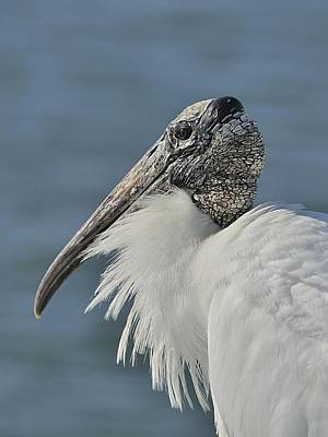 Photograph - Wood Stork Portrait by Bradford Martin