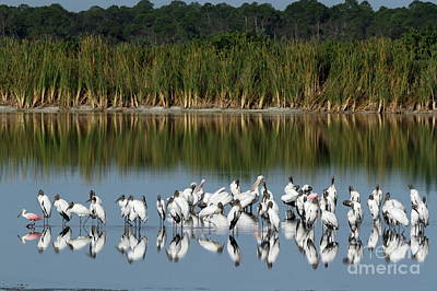 Photograph - Wood Stork Reflection by Jennifer Zelik