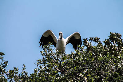Photograph - Wood Stork Show by Jessica Brown