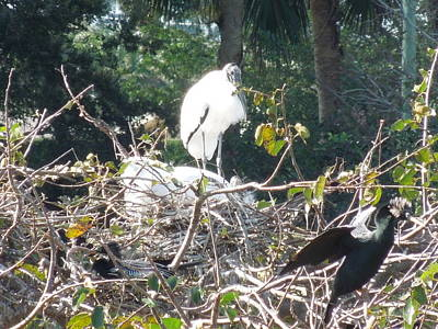 Photograph - Wood Storks And Anhingas by Ron Davidson