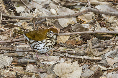 Photograph - Wood Thrush by Jack R Perry