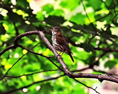 Featured Images Digital Art - Wood Thrush Singing by Chris Flees