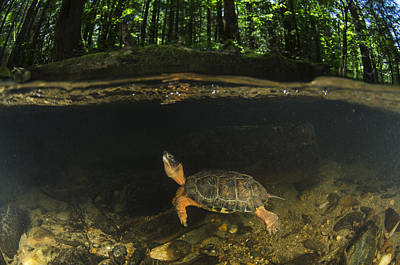 Wood Turtle Swimming North America Print by Pete Oxford