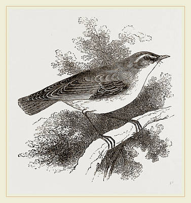 Wren Drawing - Wood-wren by Litz Collection