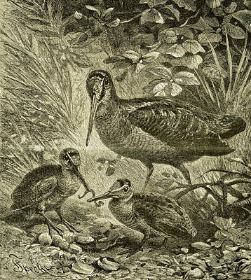 Woodcock Wall Art - Drawing - Woodcock Austria 1891 by Austrian School