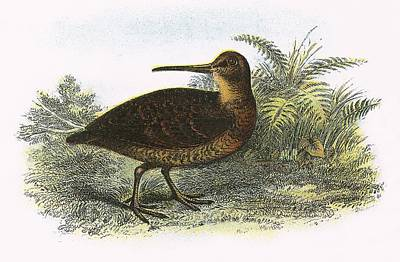 Woodcock Print by English School