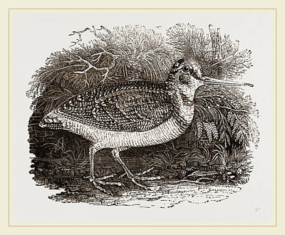 Woodcock Wall Art - Drawing - Woodcock by Litz Collection
