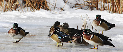Photograph - Woodies On Ice by Thomas Pettengill