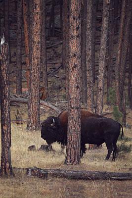 Photograph - Woodland Bison by Deborah Johnson