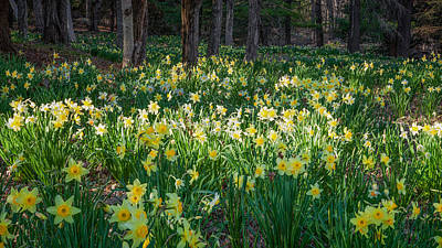 Rural Landscape Photograph - Woodland Daffodils by Bill Wakeley