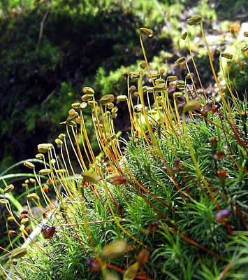 Photograph - Woodland Moss by Tamyra Crossley