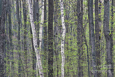 Photograph - Woodland Spring by Alan L Graham