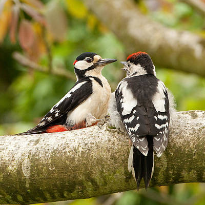 Walnut Tree Photograph - Woodpecker Family by Izzy Standbridge