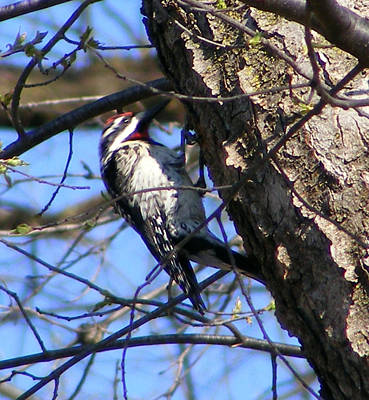 Photograph - Woodpecker by Michelle Hoffmann