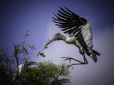 Photograph - Woodstork Delicate Landing by Donald Brown
