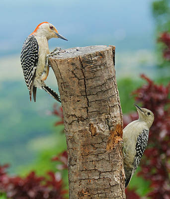 Woodpecker Photograph - Woody Mommy And Baby 2 by Lara Ellis